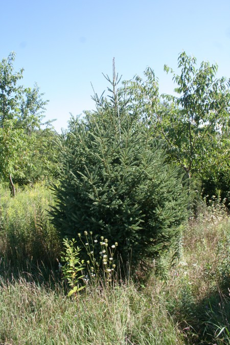 White Spruce about nine feet tall