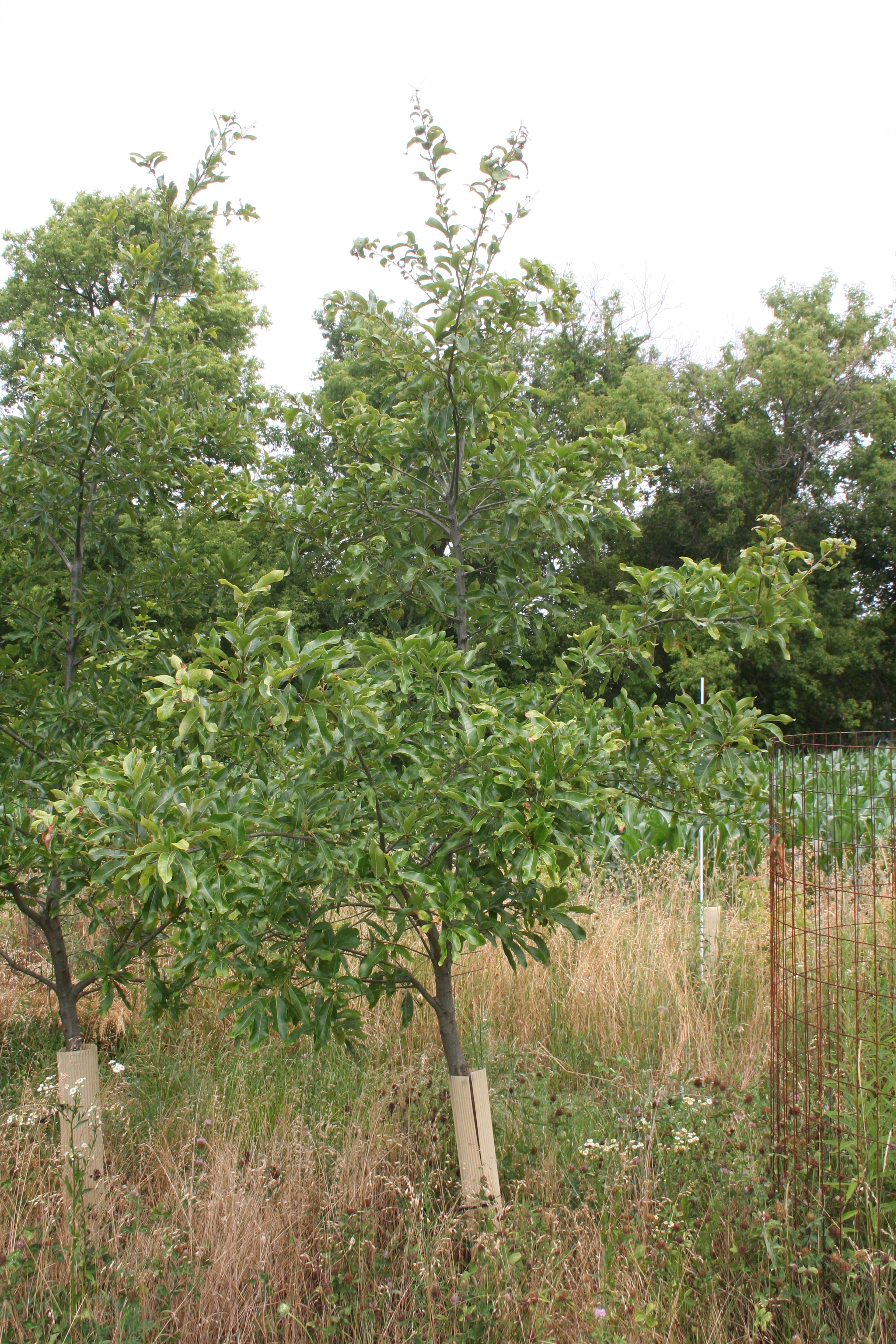 Shingle Oak Quercus Imbricaria Dexter Tree Farm