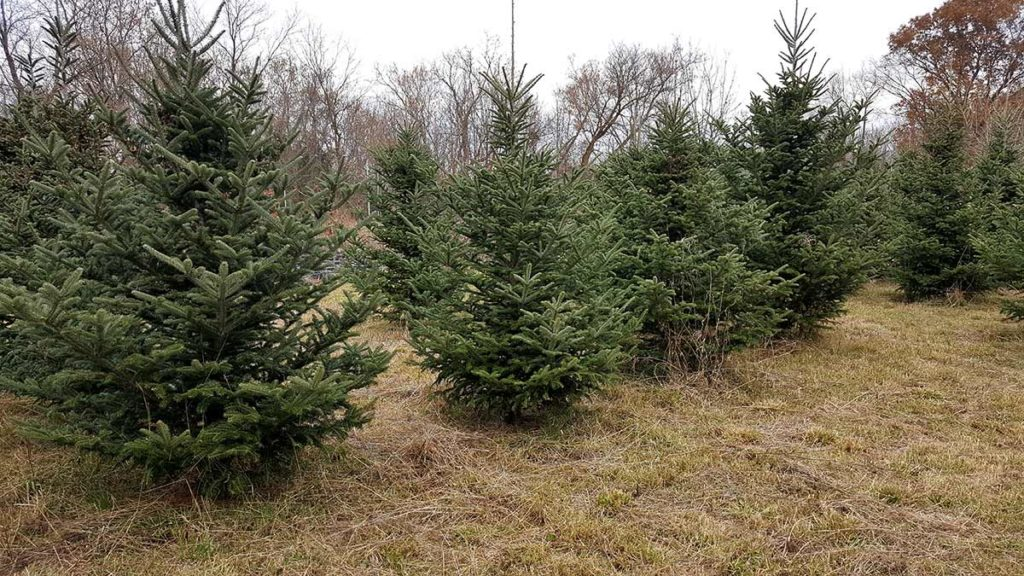 Choose And Cut Your Own Christmas Tree In Michigan